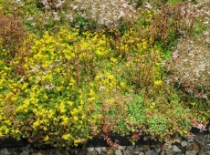 M-Tray green roof in flower - 14 June