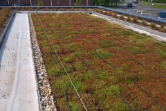 M-Tray sedum green roof install Starbucks step 2