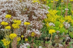 Sedum in flower close up 4