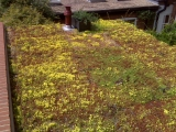 extensive-green-roof-sedum