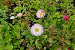 Close-Up-of-Sedum-Wildflowers-incluing-Daisies