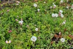 Close-Up-of-Sedum-Wildflowers
