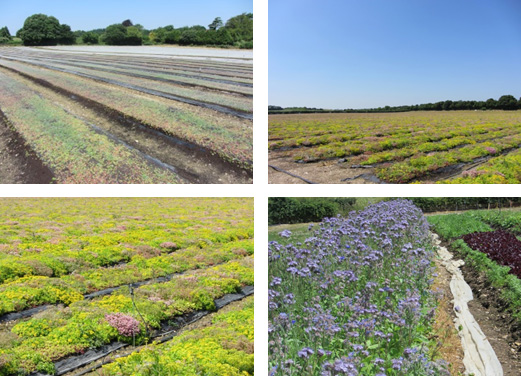 Extensive Green Roof Systems