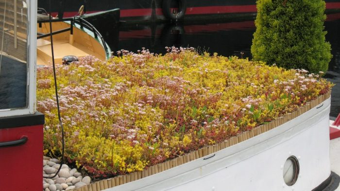 sedum green roof in flower