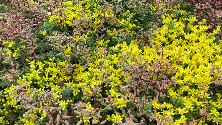 Sedum green roof summer flowers