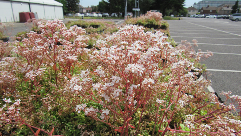 M-Tray sedum green roof Radisson hotel in flower