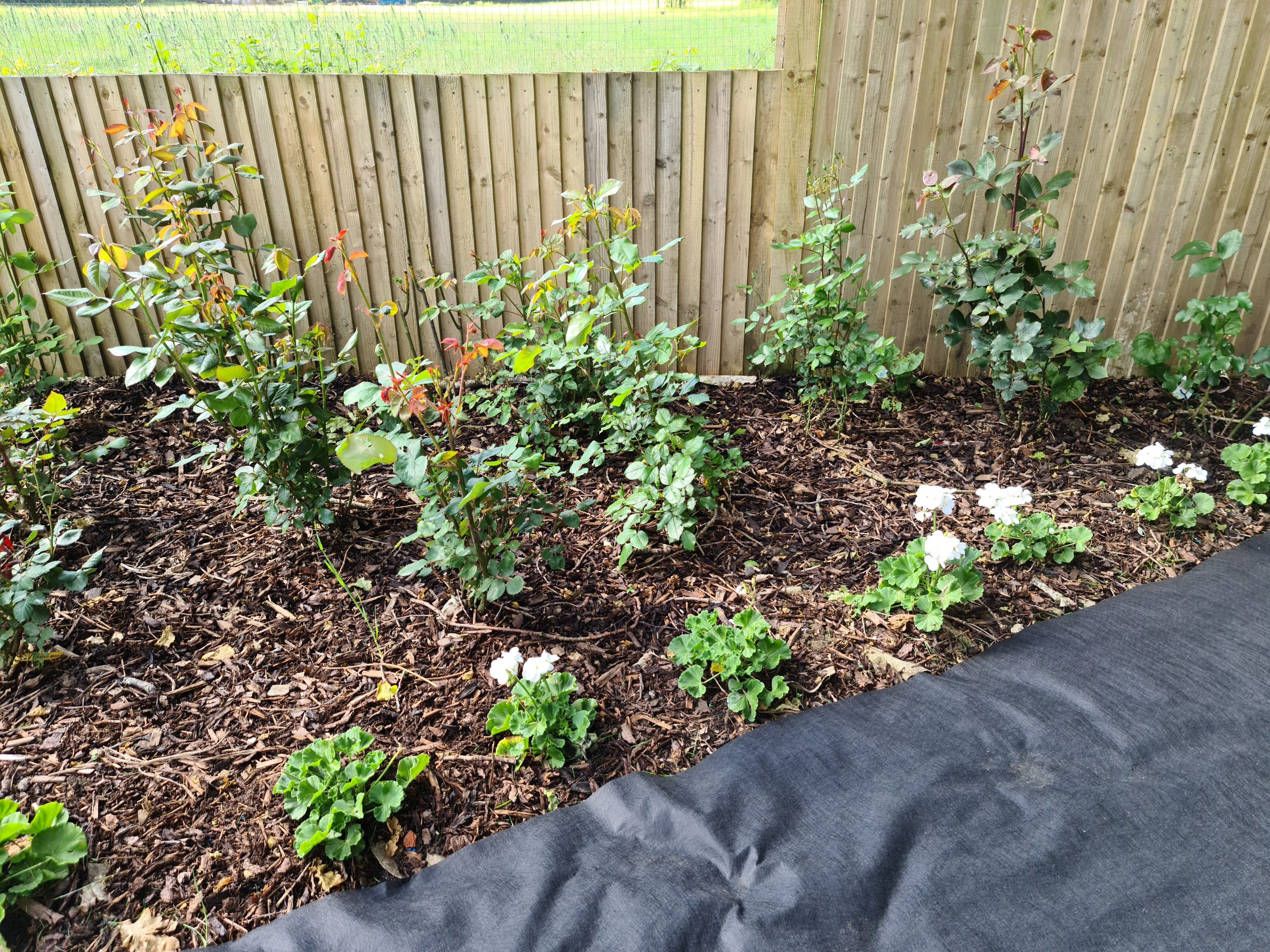 weed control fabric rose bed